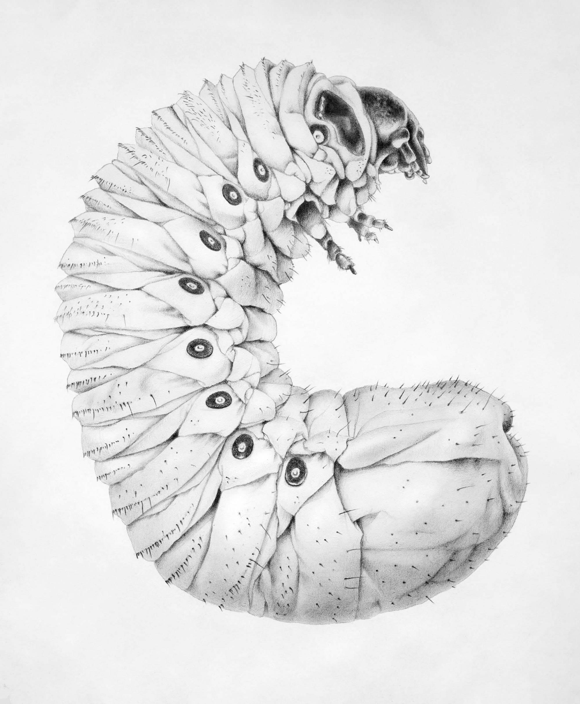 Hercules beetle larvae